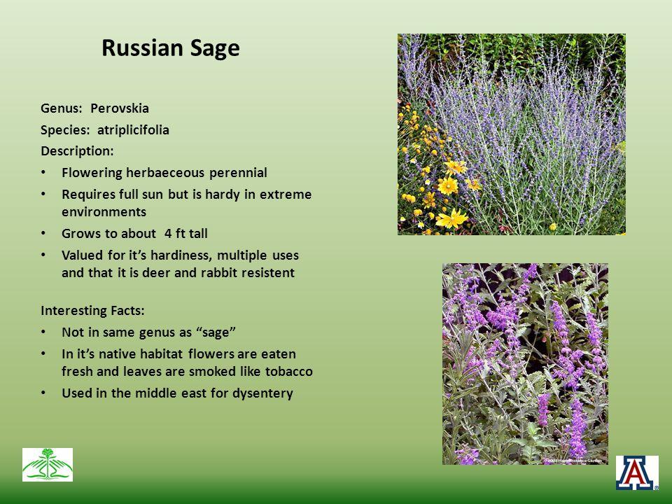 Russian Sage Genus: Perovskia Species: atriplicifolia Description: