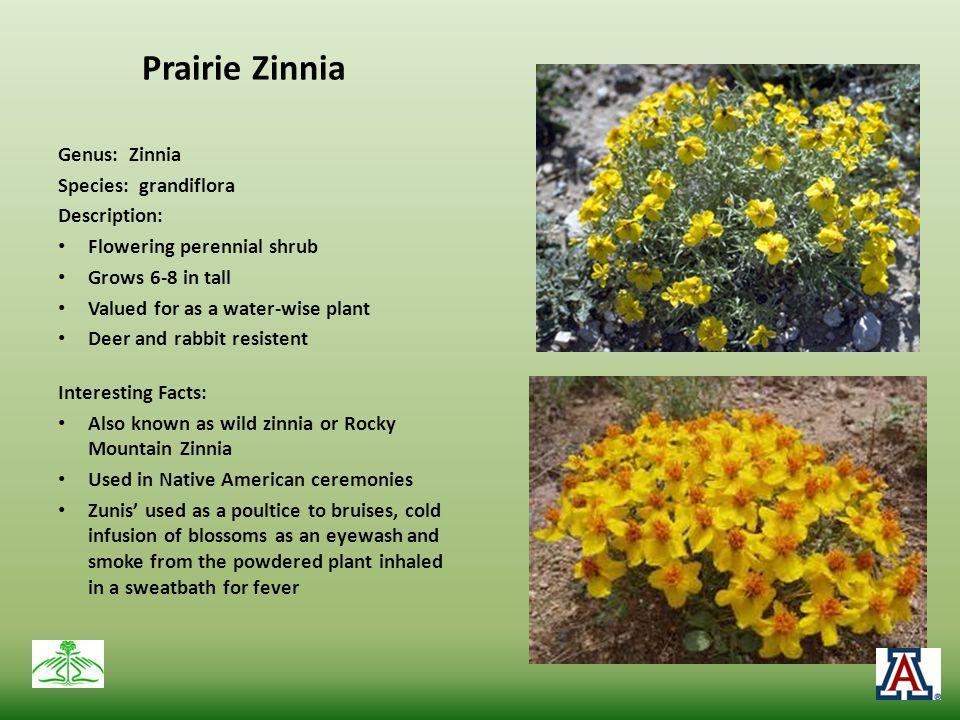 Prairie Zinnia Genus: Zinnia Species: grandiflora Description: