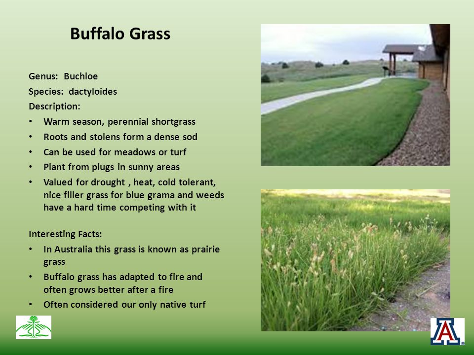 Buffalo Grass Genus: Buchloe Species: dactyloides Description: