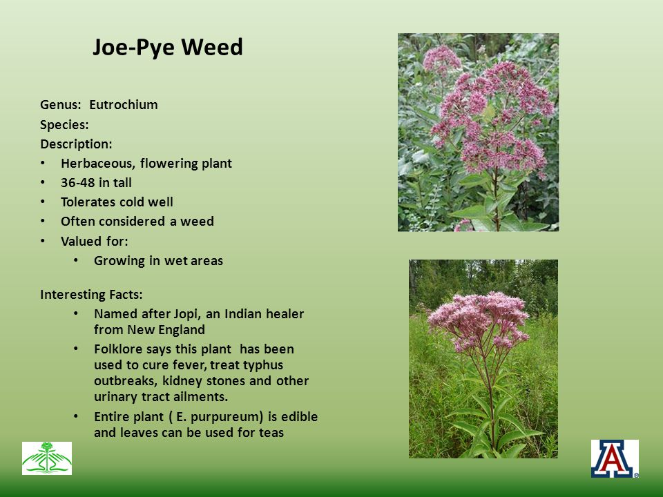 Joe-Pye Weed Genus: Eutrochium Species: Description: