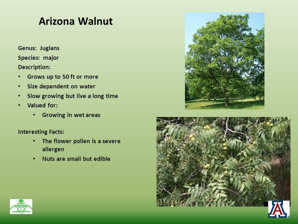 Arizona Walnut Genus: Juglans Species: major Description: