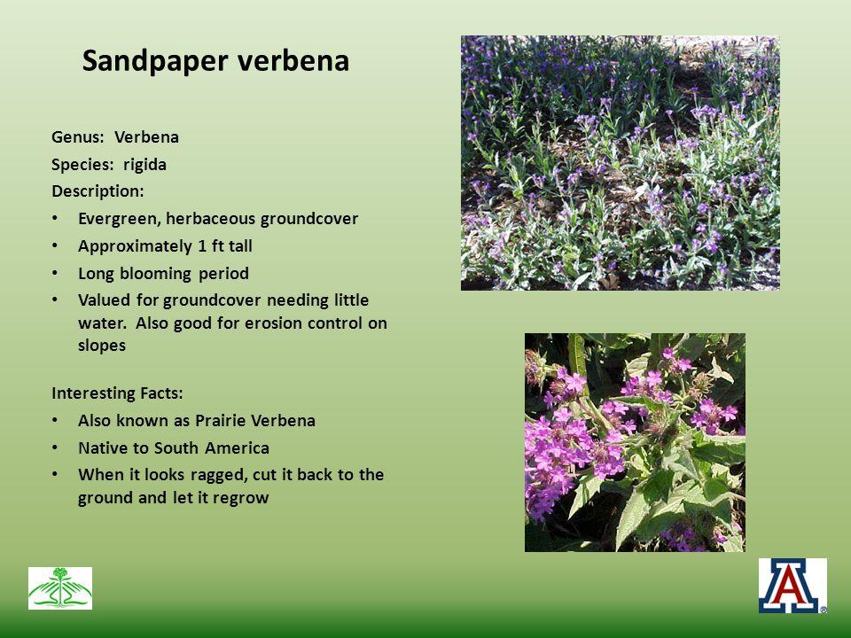 Sandpaper verbena Genus: Verbena Species: rigida Description: