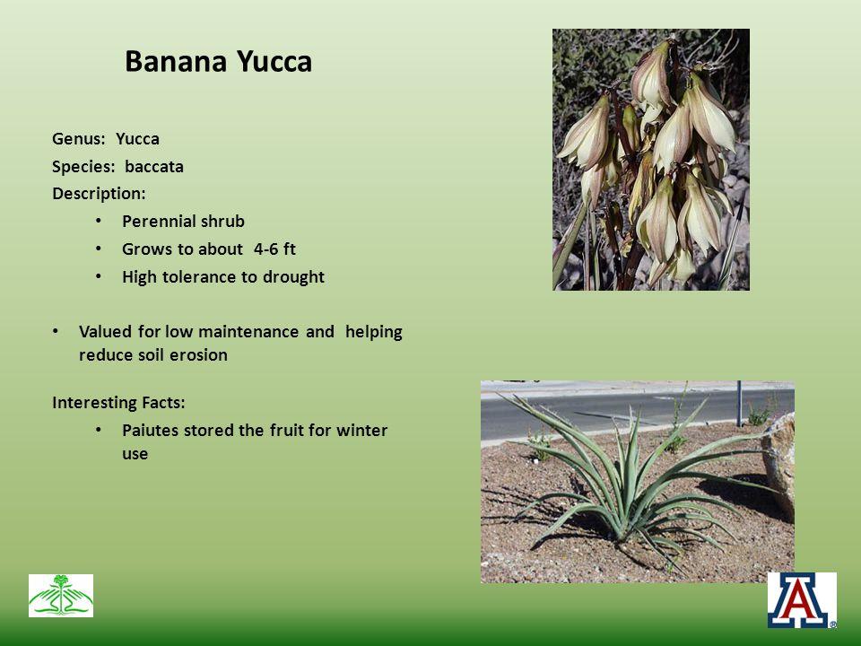 Banana Yucca Genus: Yucca Species: baccata Description: