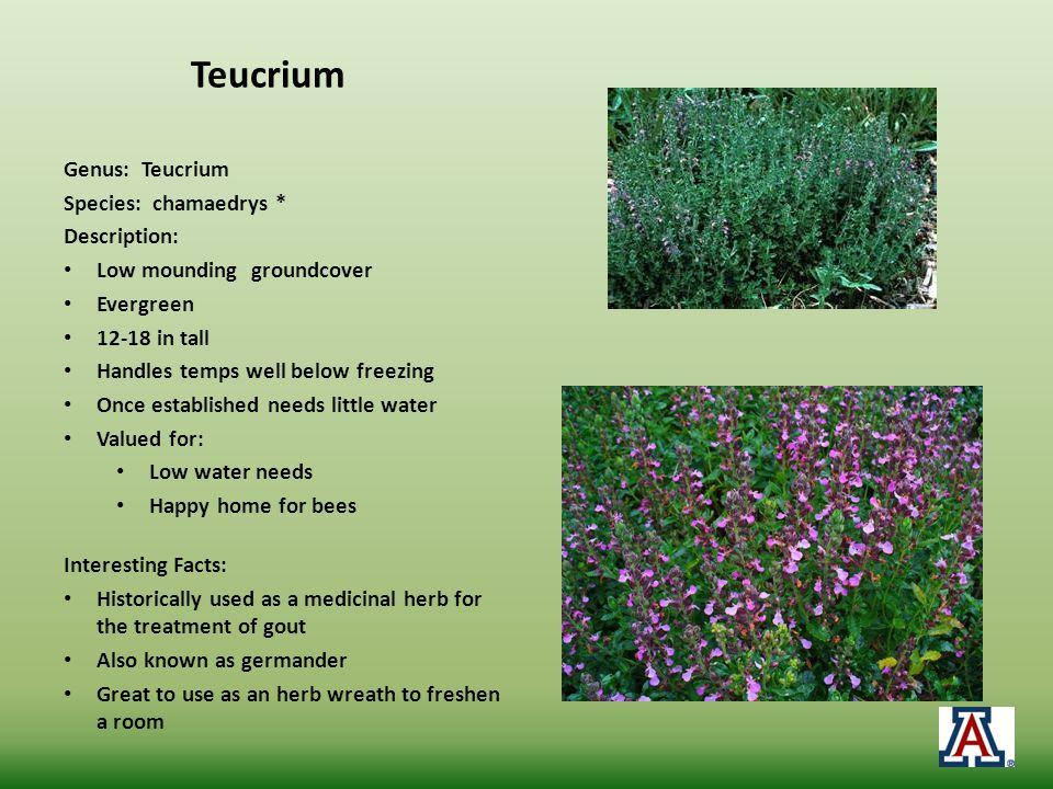 Teucrium Genus: Teucrium Species: chamaedrys * Description: