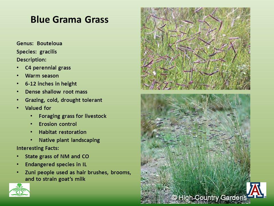 Blue Grama Grass Genus: Bouteloua Species: gracilis Description:
