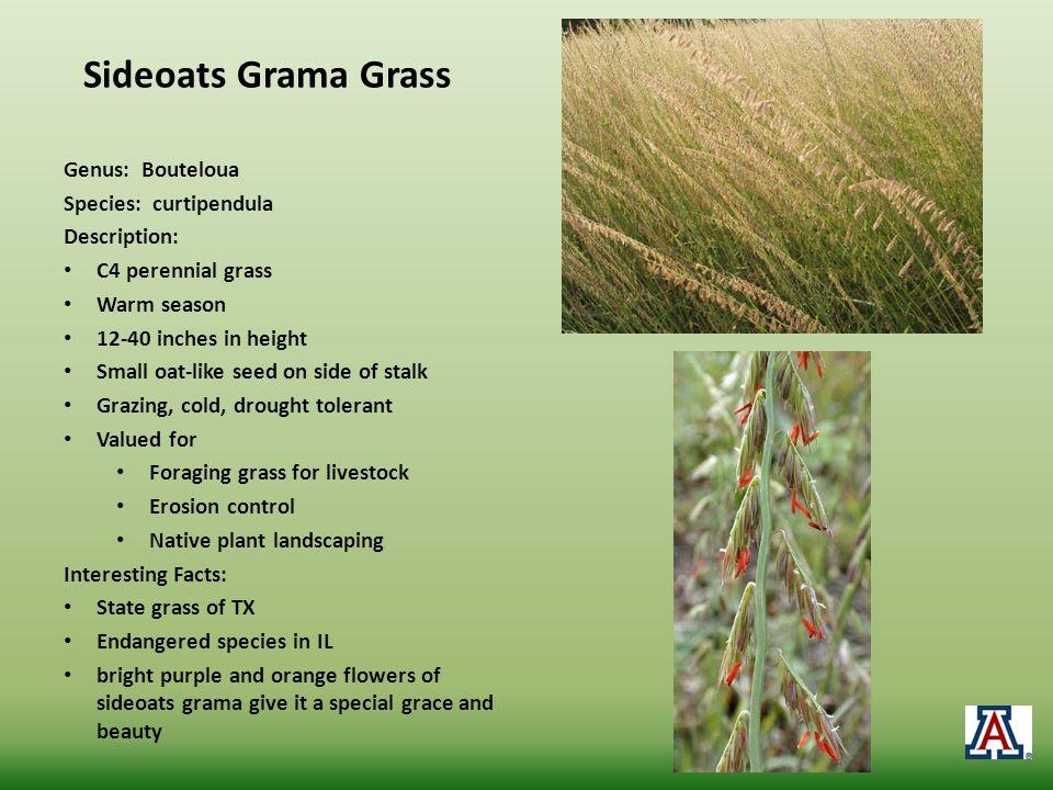 Sideoats Grama Grass Genus: Bouteloua Species: curtipendula