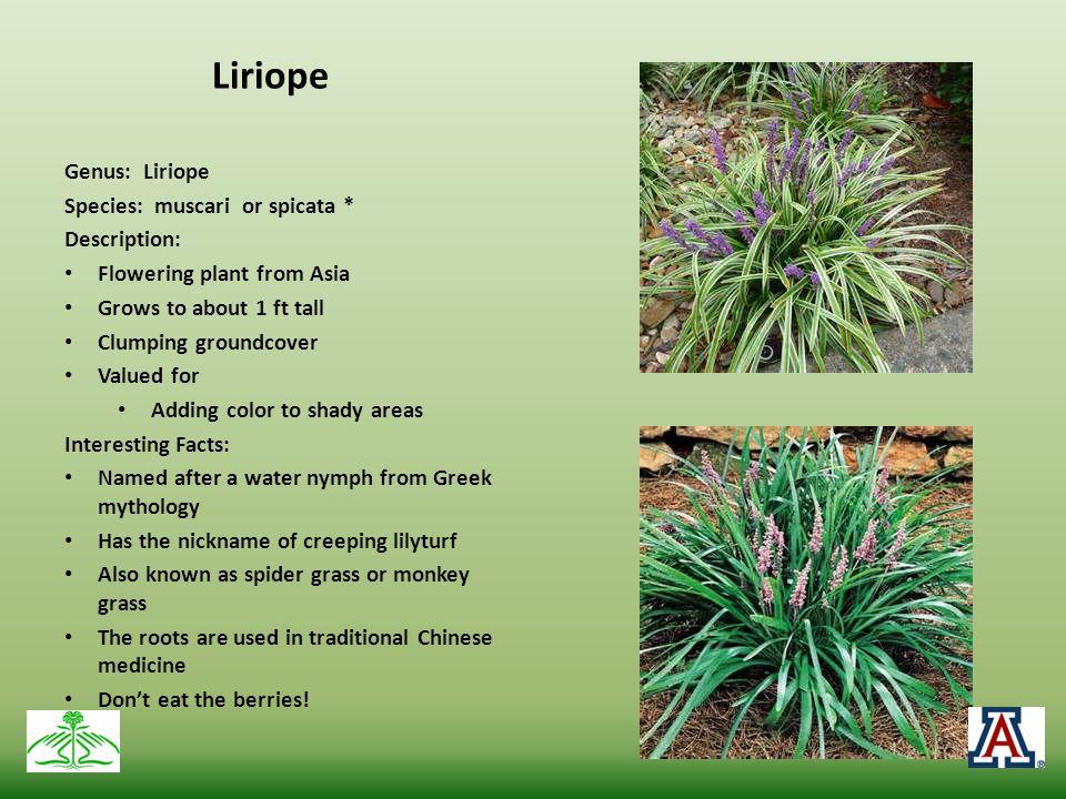 Liriope Genus: Liriope Species: muscari or spicata * Description: