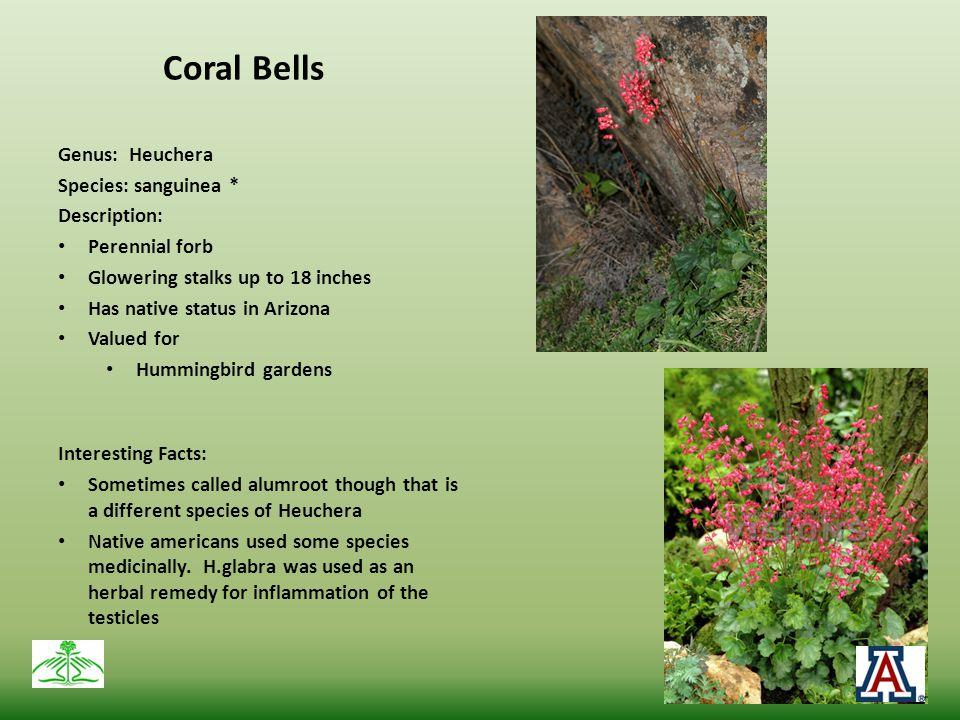 Coral Bells Genus: Heuchera Species: sanguinea * Description: