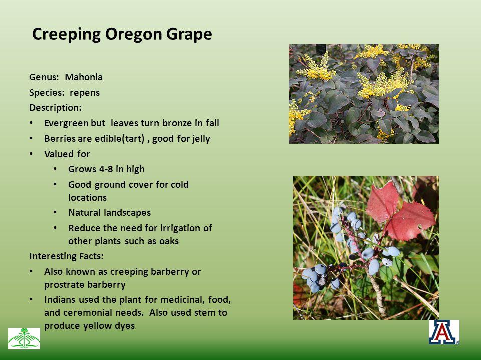 Creeping Oregon Grape Genus: Mahonia Species: repens Description: