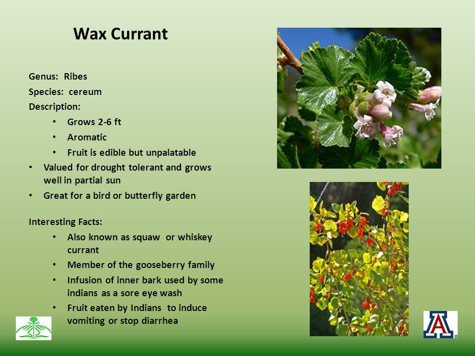 Wax Currant Genus: Ribes Species: cereum Description: Grows 2-6 ft