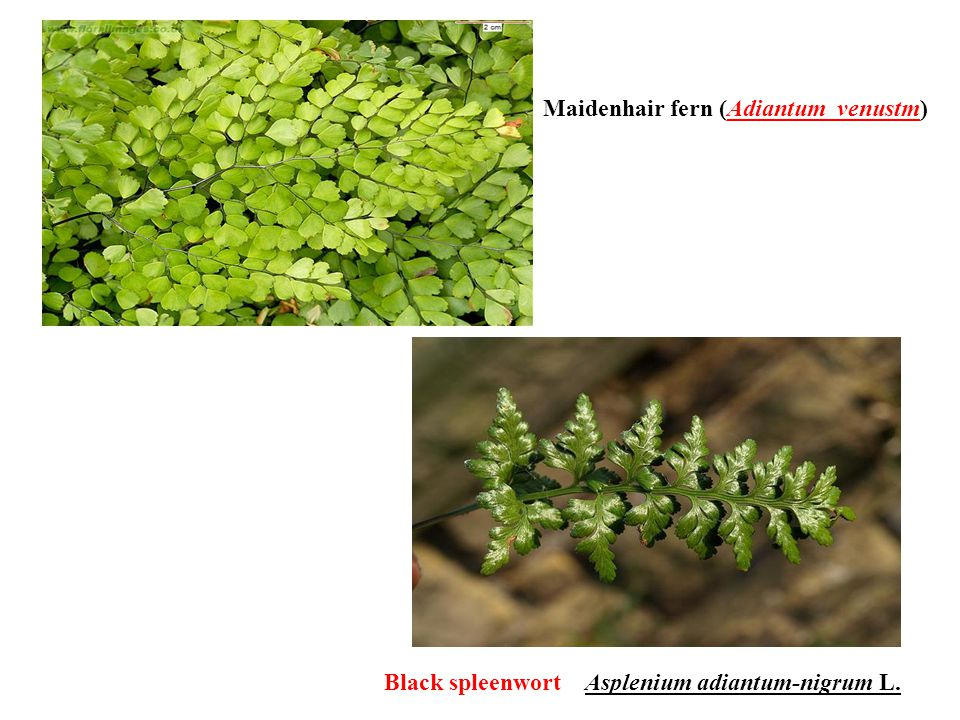 Maidenhair fern (Adiantum venustm)