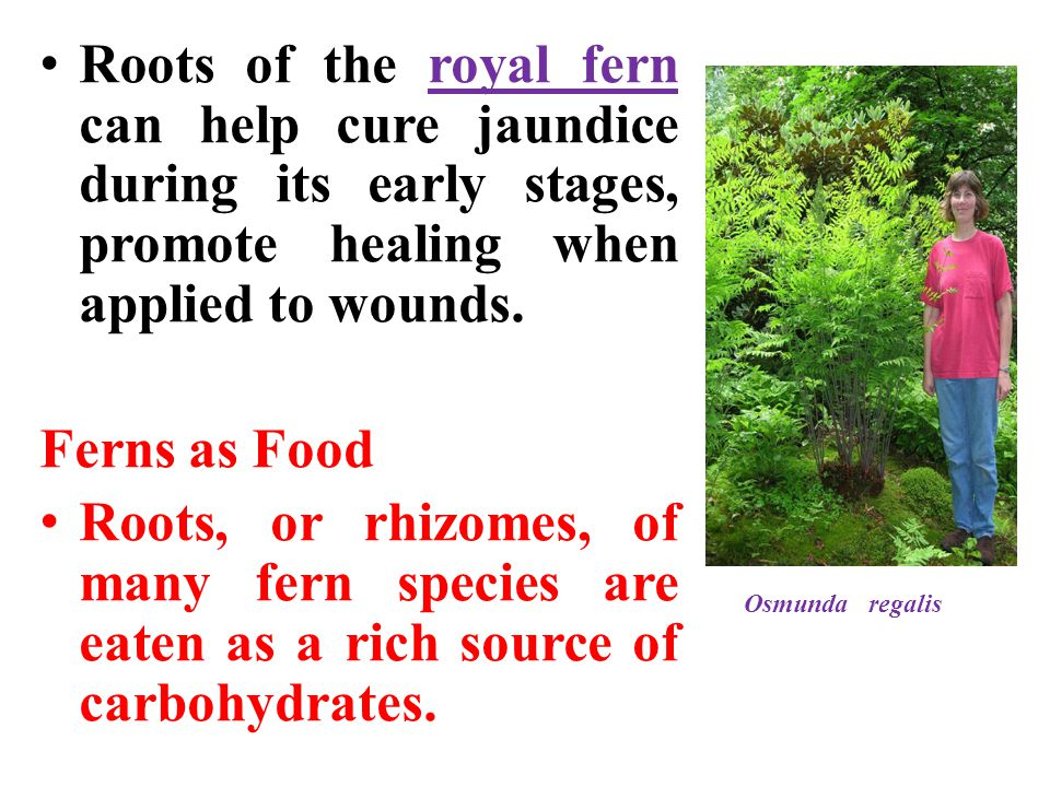 Roots of the royal fern can help cure jaundice during its early stages, promote healing when applied to wounds.