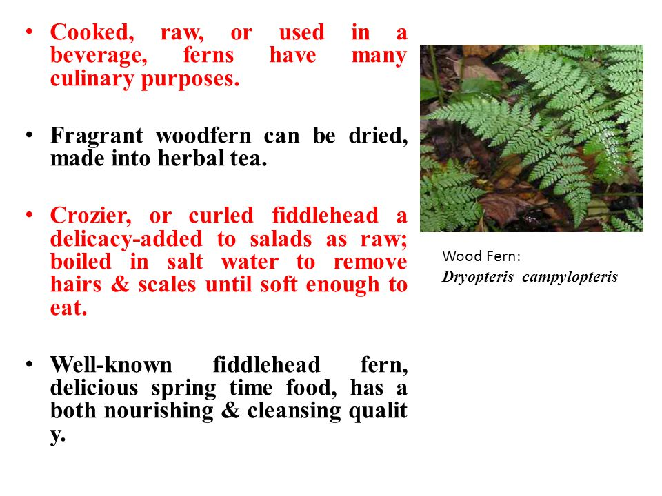 Cooked, raw, or used in a beverage, ferns have many culinary purposes.
