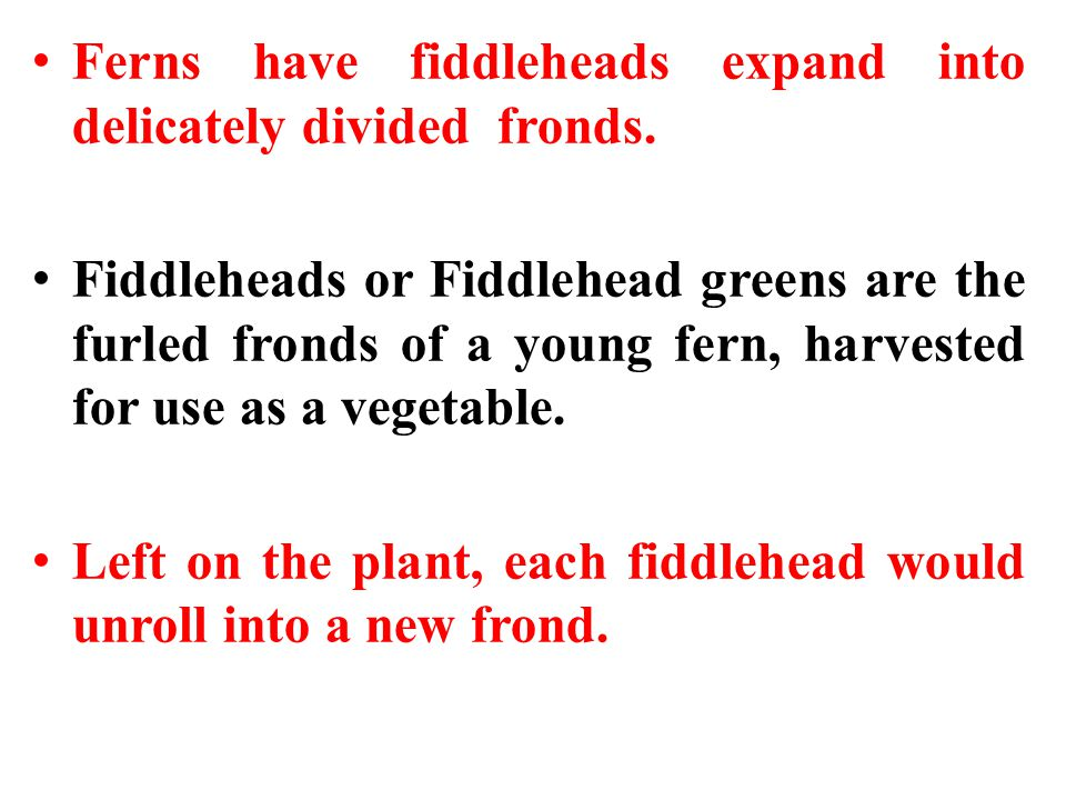 Ferns have fiddleheads expand into delicately divided fronds.