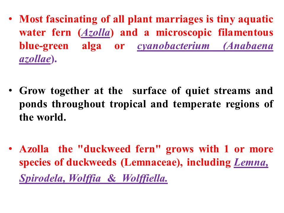 Most fascinating of all plant marriages is tiny aquatic water fern (Azolla) and a microscopic filamentous blue-green alga or cyanobacterium (Anabaena azollae).