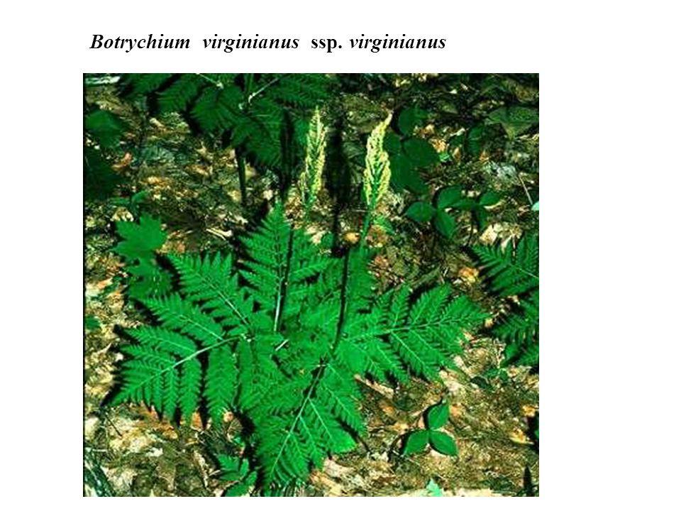 Botrychium virginianus ssp. virginianus