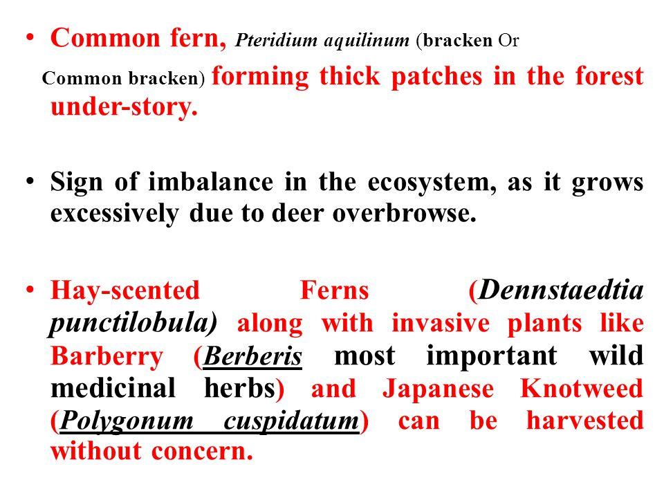 Common fern, Pteridium aquilinum (bracken Or