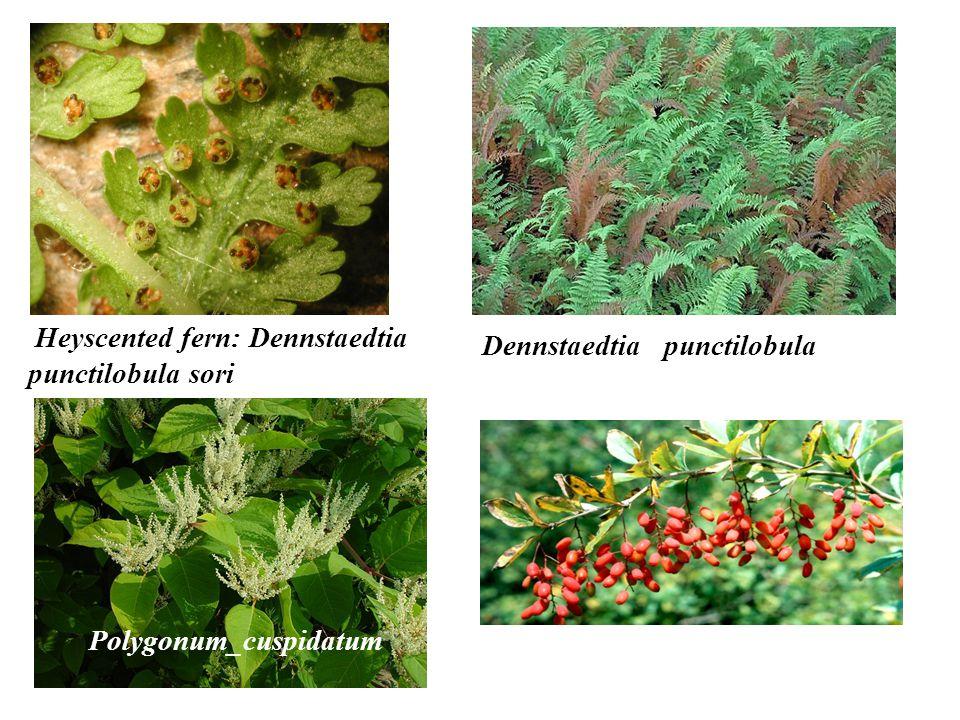 Heyscented fern: Dennstaedtia punctilobula sori