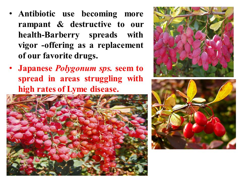 Antibiotic use becoming more rampant & destructive to our health-Barberry spreads with vigor -offering as a replacement of our favorite drugs.