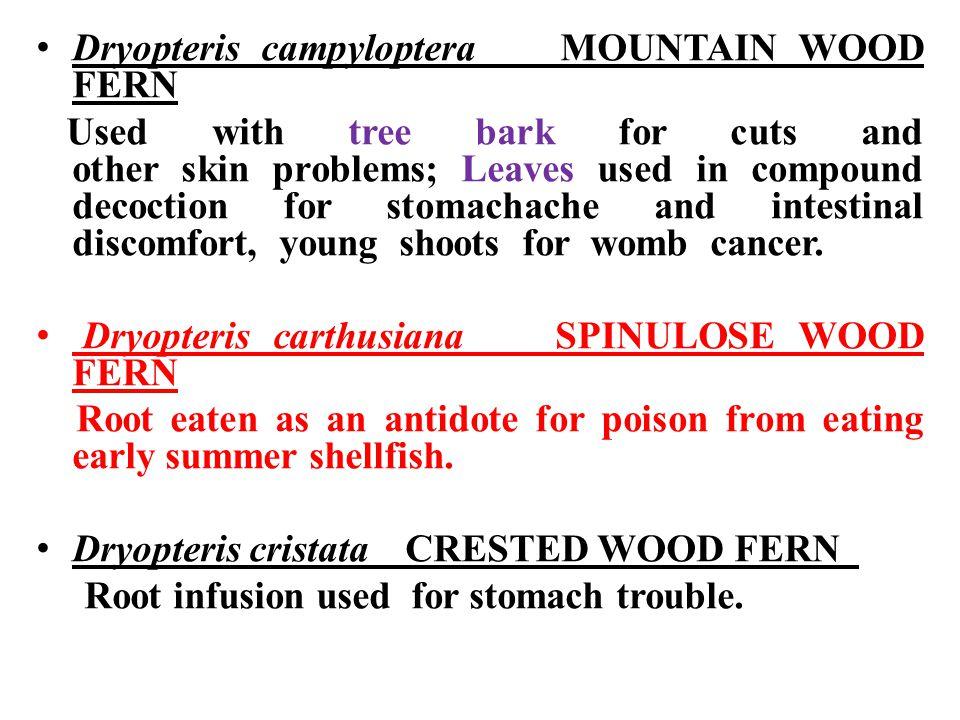 Dryopteris campyloptera MOUNTAIN WOOD FERN