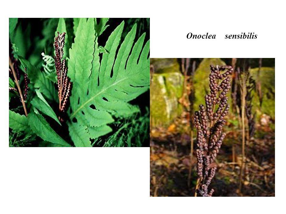 Onoclea sensibilis