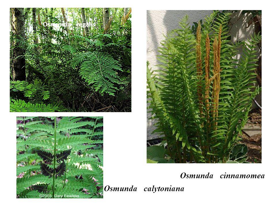 Osmunda regalis Osmunda cinnamomea Osmunda calytoniana