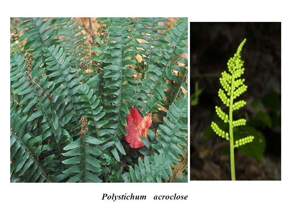 Polystichum acroclose