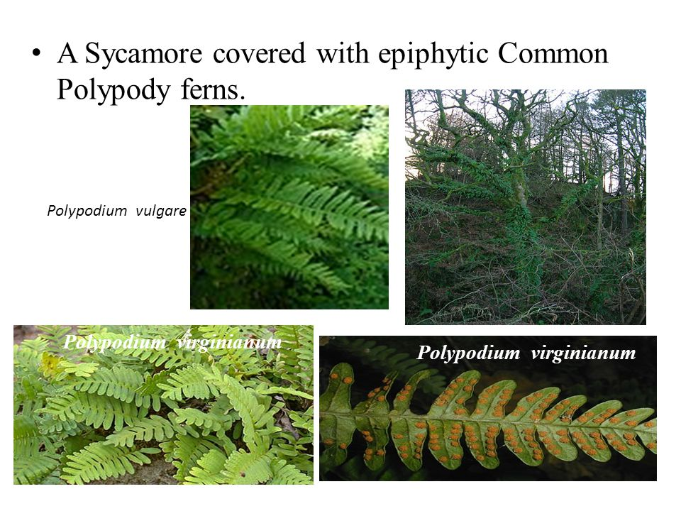 A Sycamore covered with epiphytic Common Polypody ferns.