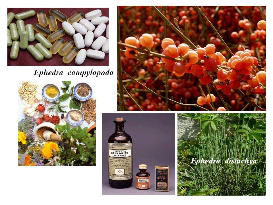 Ephedra campylopoda Ephedra distachya