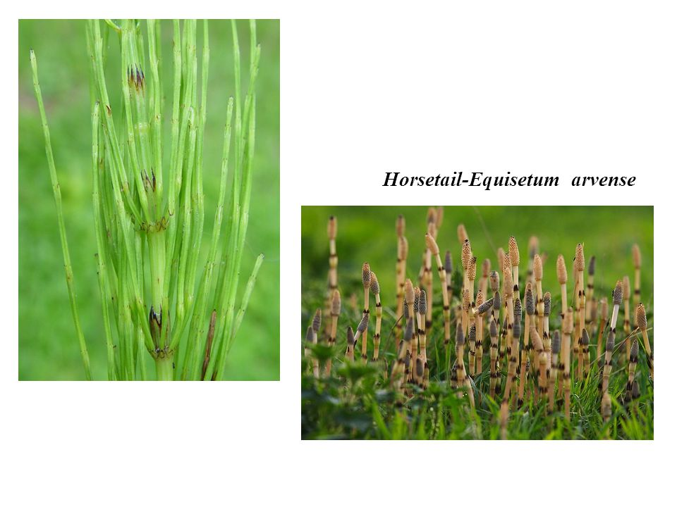 Horsetail-Equisetum arvense