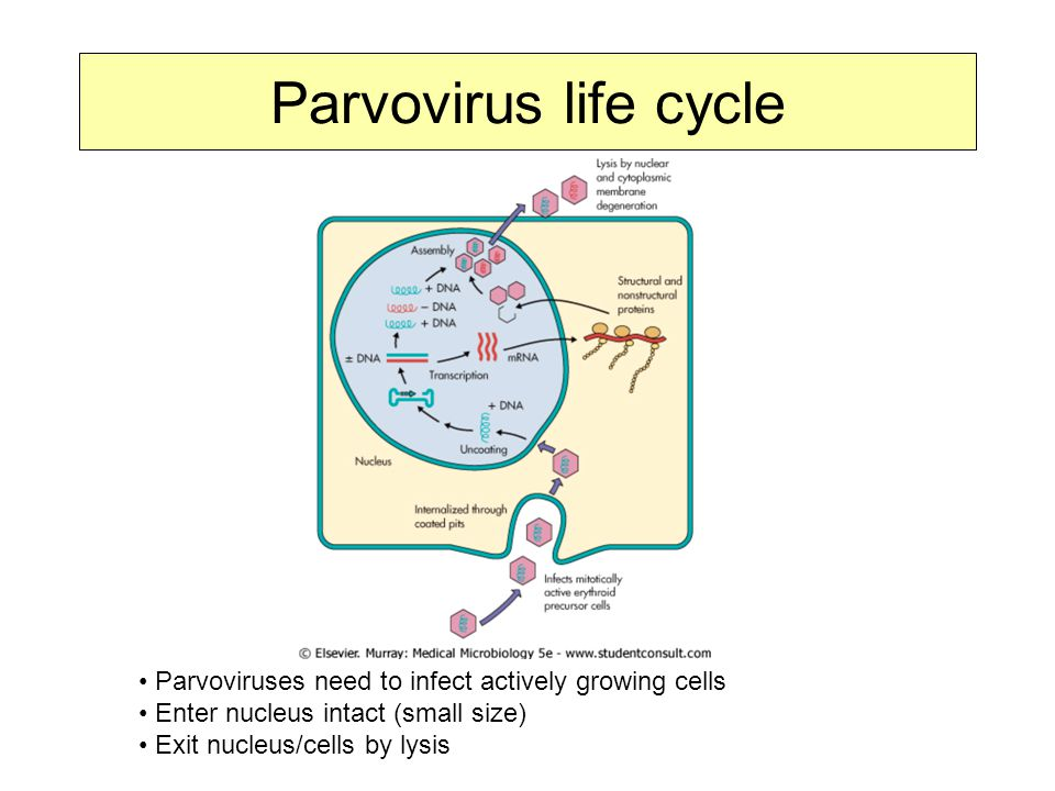Parvovirus life cycle The life cycle of parvovirus is kind of a minimalist system as well, nothing very elaborate.