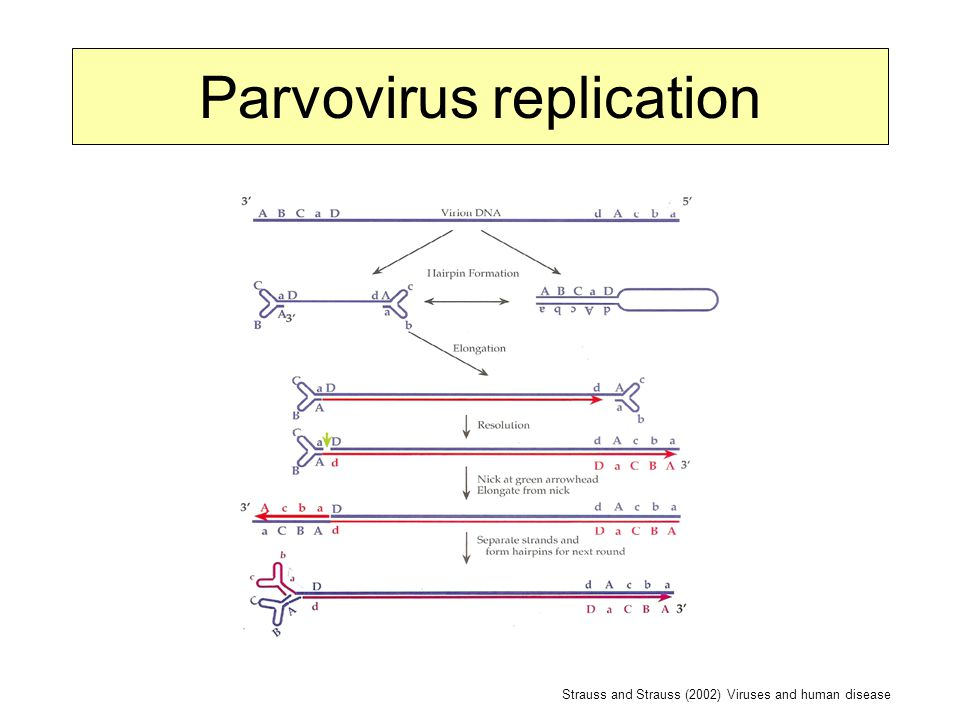 Parvovirus replication