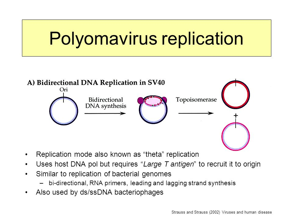 Polyomavirus replication