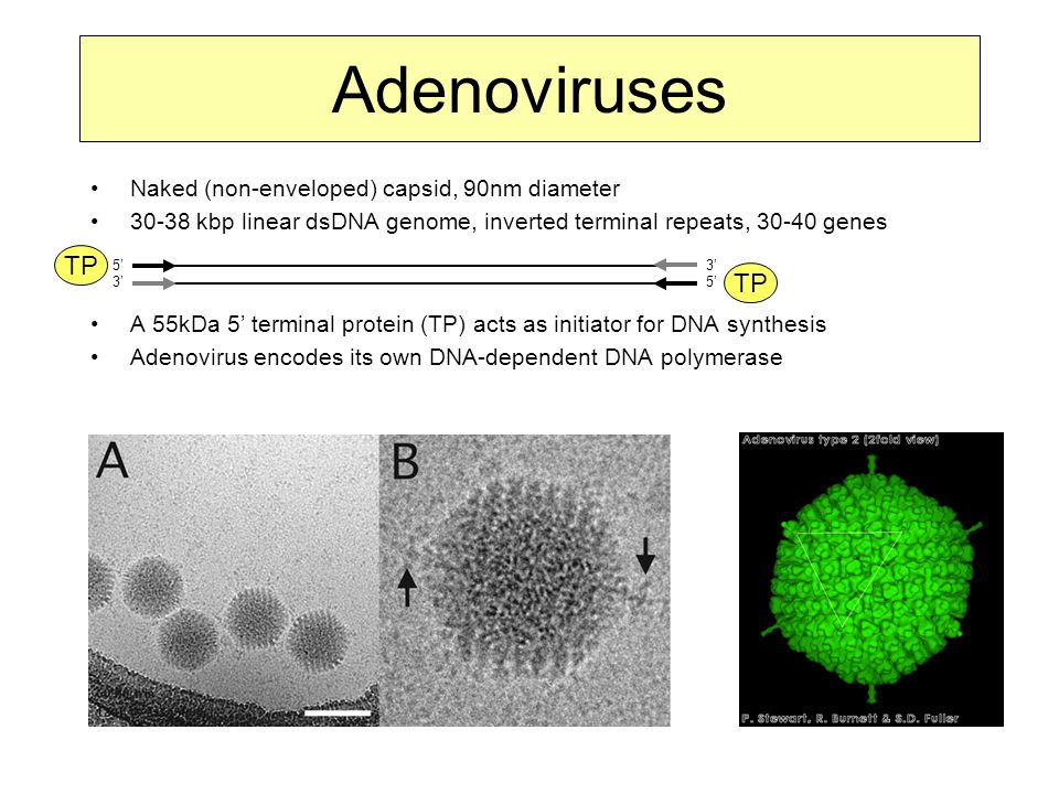 Adenoviruses TP Naked (non-enveloped) capsid, 90nm diameter