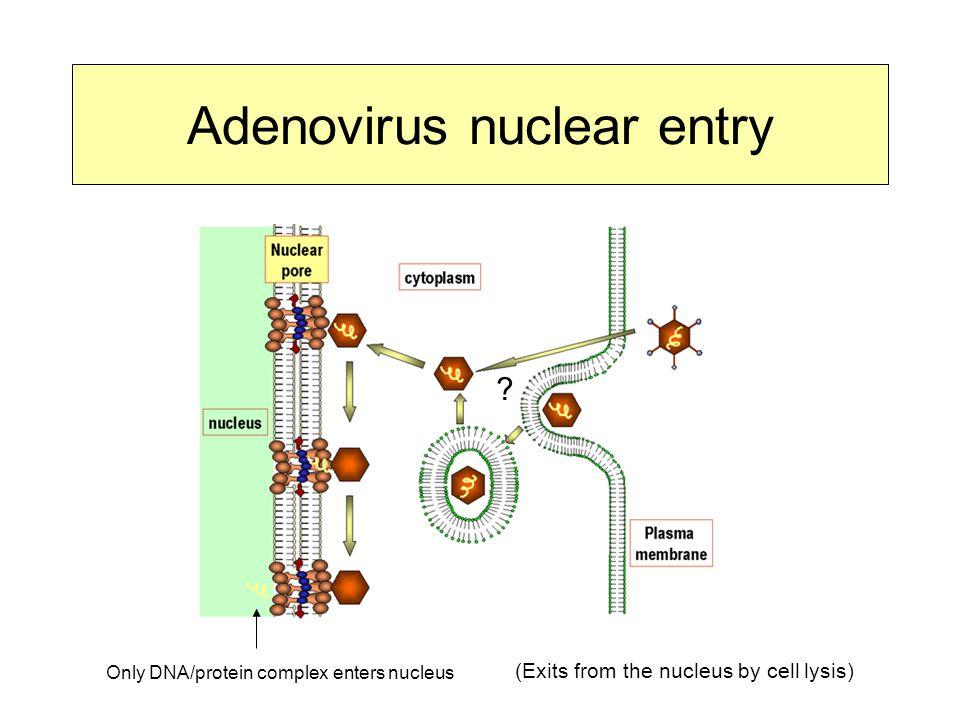 Adenovirus nuclear entry
