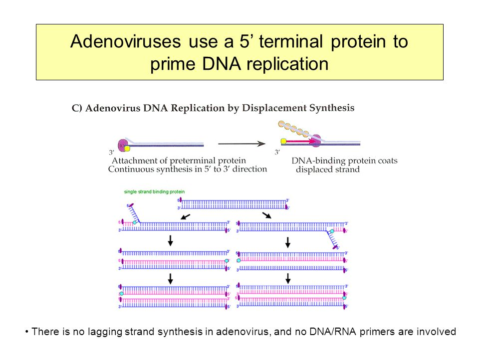 Adenoviruses use a 5' terminal protein to prime DNA replication