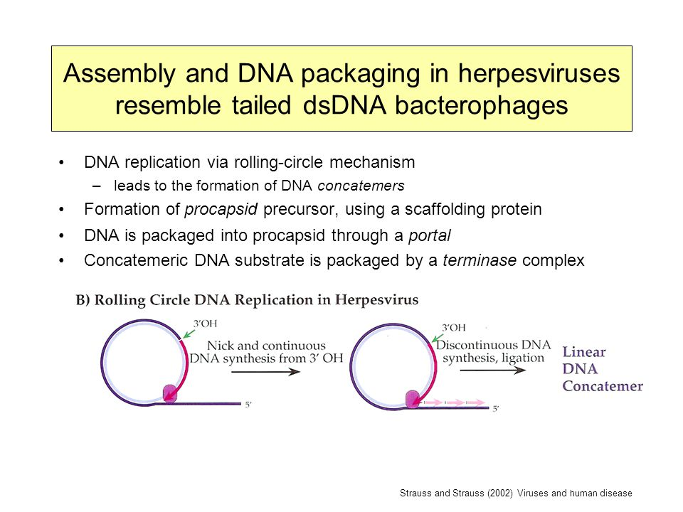 Assembly and DNA packaging in herpesviruses resemble tailed dsDNA bacterophages