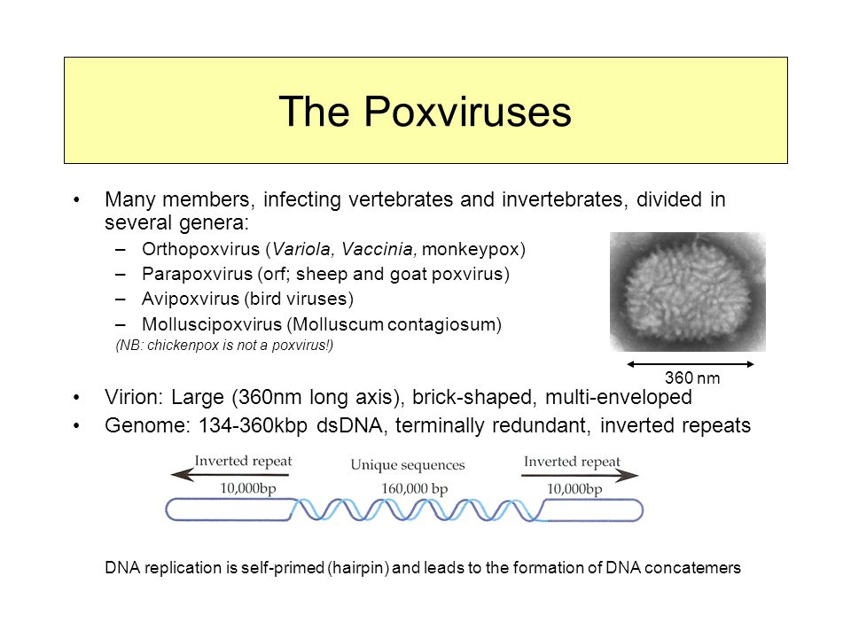 The Poxviruses Many members, infecting vertebrates and invertebrates, divided in several genera: Orthopoxvirus (Variola, Vaccinia, monkeypox)