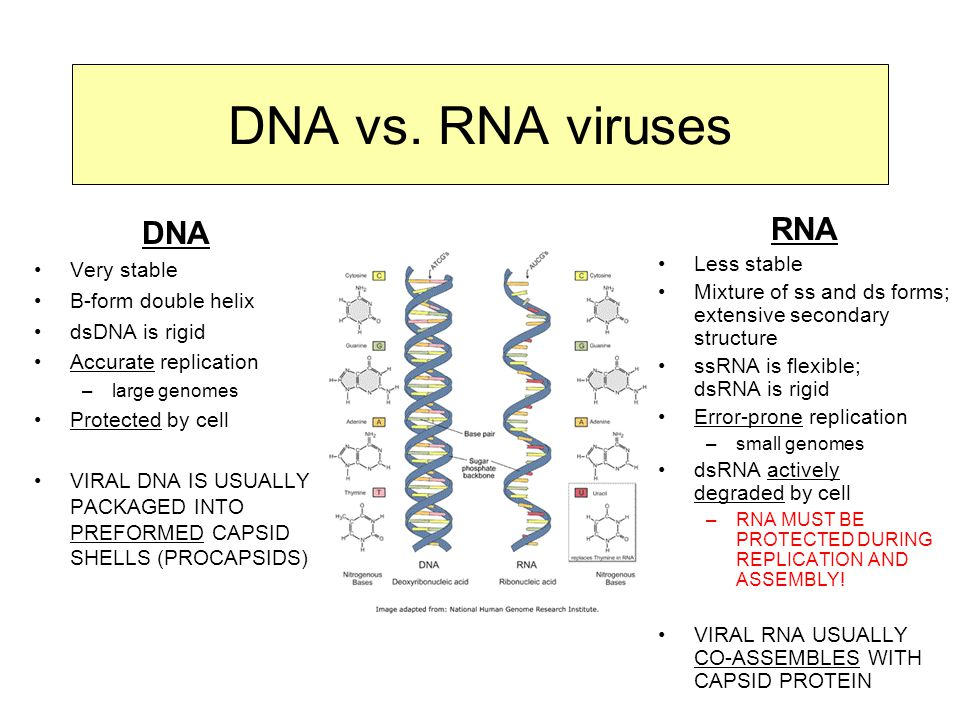 DNA vs. RNA viruses DNA RNA Very stable B-form double helix