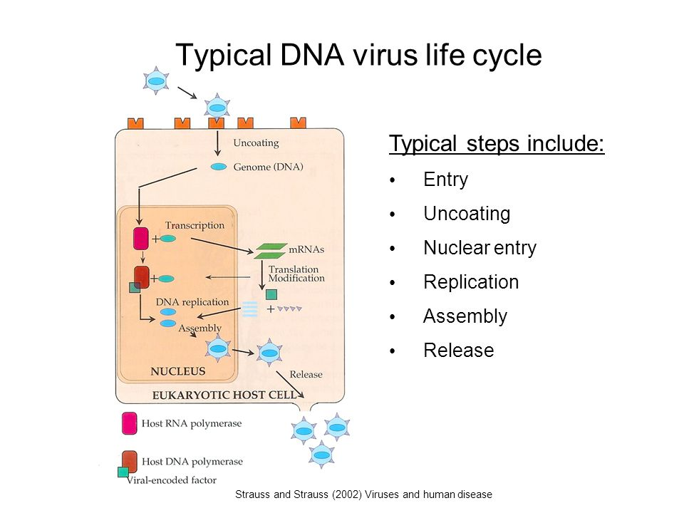 Typical DNA virus life cycle