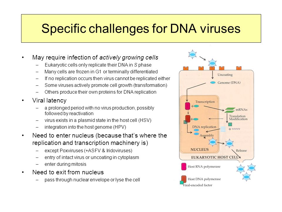 Specific challenges for DNA viruses