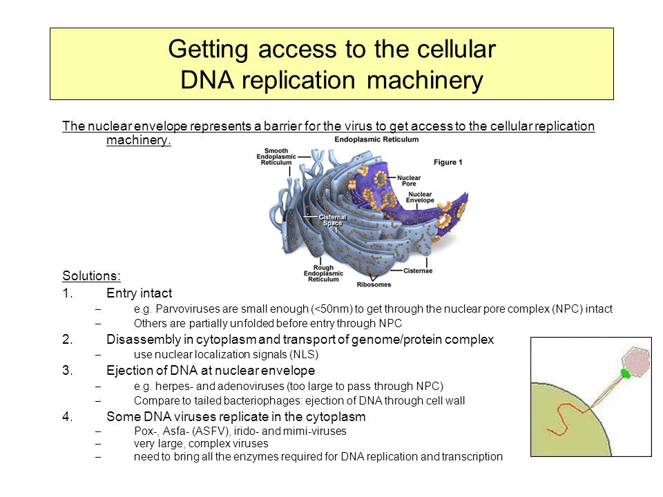 Getting access to the cellular DNA replication machinery