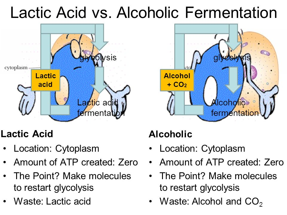 Lactic Acid vs. Alcoholic Fermentation