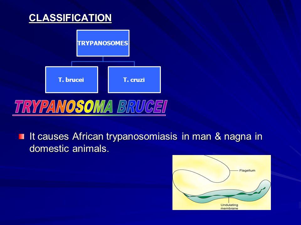 TRYPANOSOMA BRUCEI CLASSIFICATION
