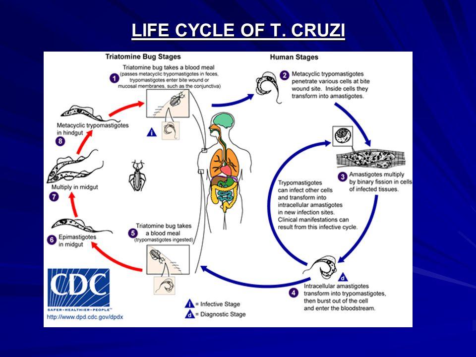 LIFE CYCLE OF T. CRUZI