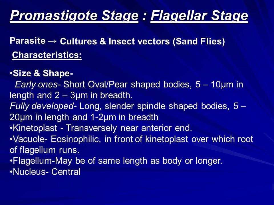 Promastigote Stage : Flagellar Stage