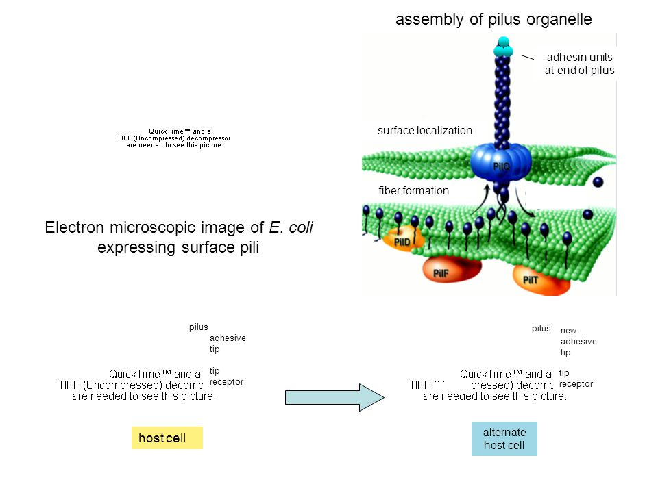 assembly of pilus organelle