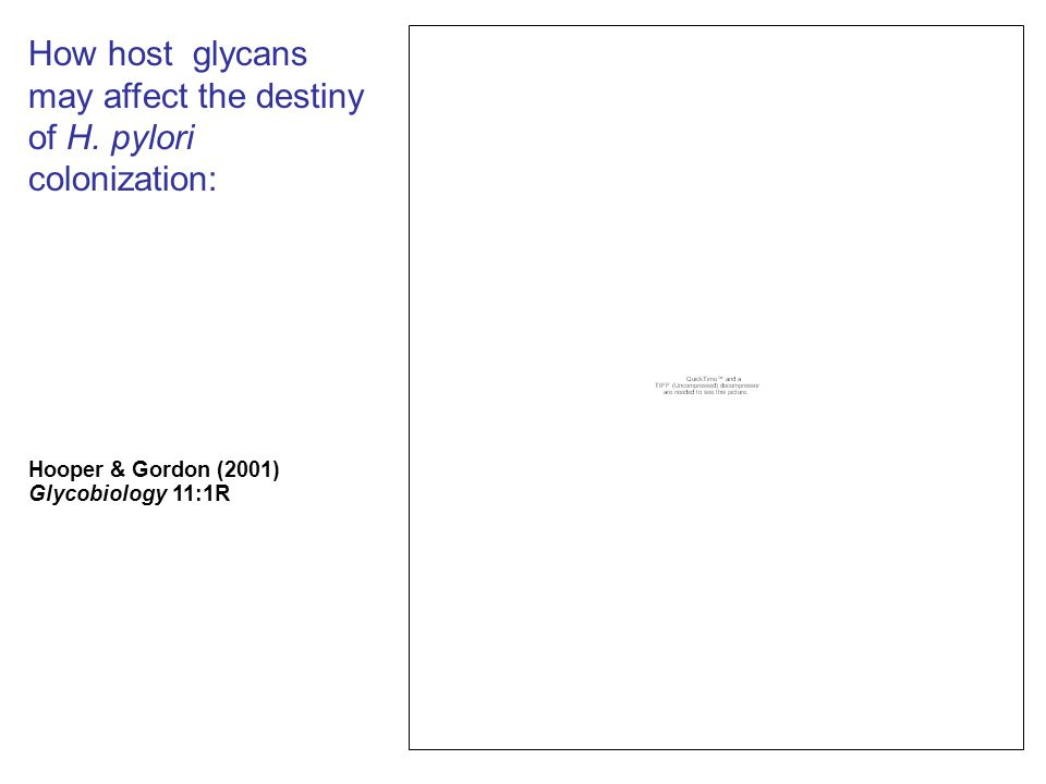 How host glycans may affect the destiny of H. pylori colonization: