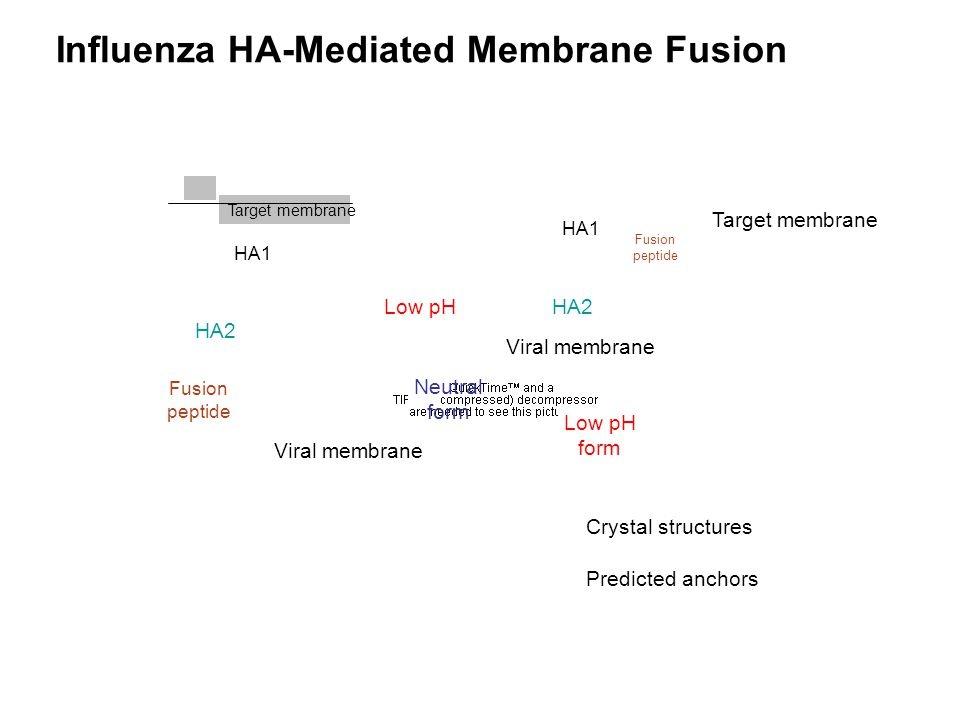 Influenza HA-Mediated Membrane Fusion