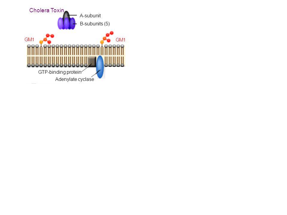 Cholera Toxin A-subunit B-subunits (5) GM1 GM1 GTP-binding protein